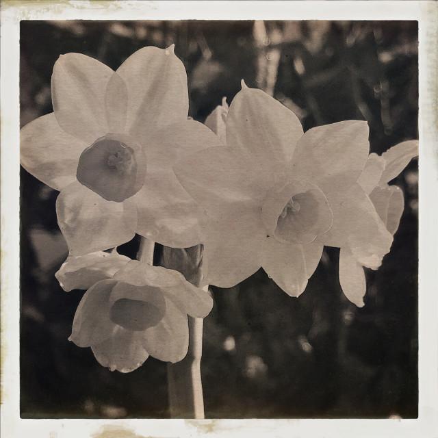"""Daffodils in Sepia"" stock image"