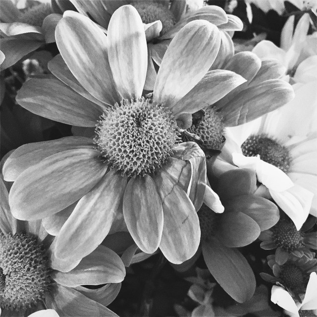 """""""Chrysanthemums in black and white"""" stock image"""