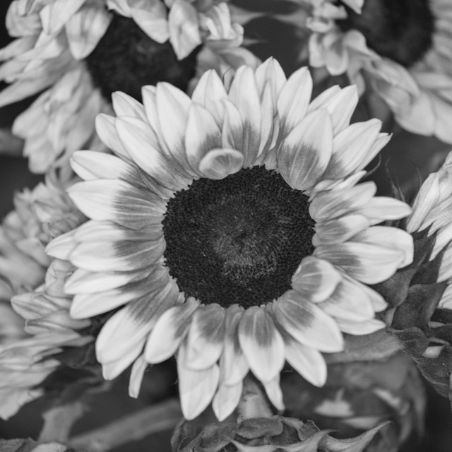 """""""Colorless Flowers"""" stock image"""