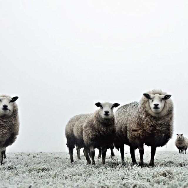 """Winter sheep"" stock image"