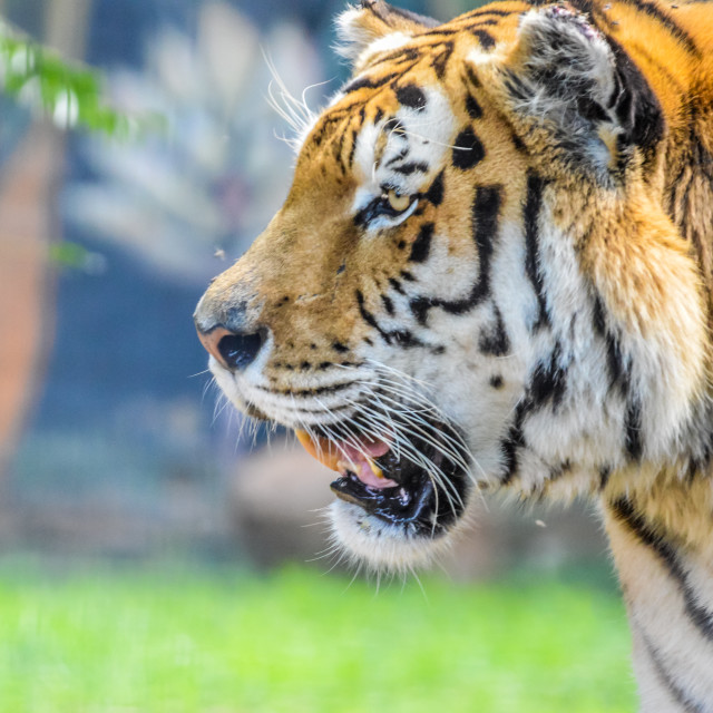"""""""Cute and beautiful Bengal tiger in a zoo in South Africa"""" stock image"""