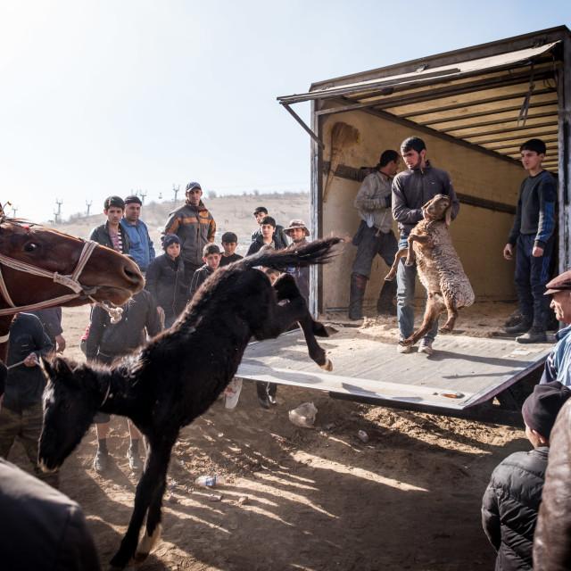 """Tajik livestock"" stock image"