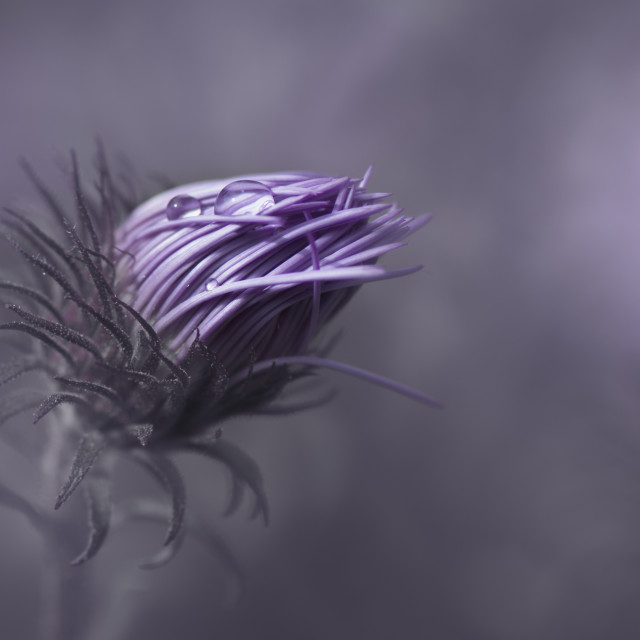"""Purple Aster Flower"" stock image"
