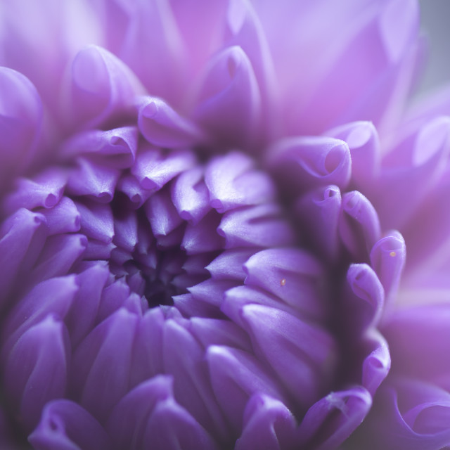 """Beautiful Dahlia Flower"" stock image"