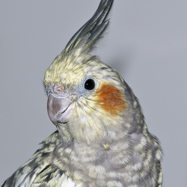 """Cockatiel"" stock image"
