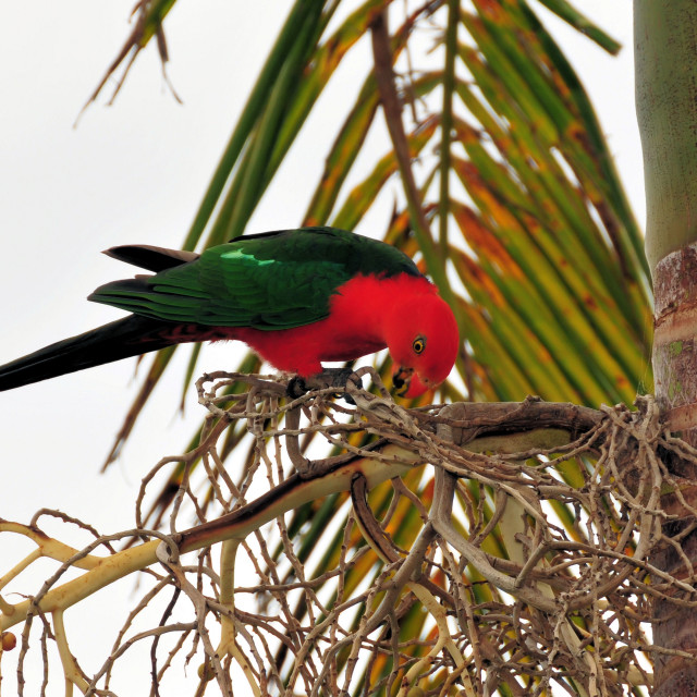 """King Parrot"" stock image"