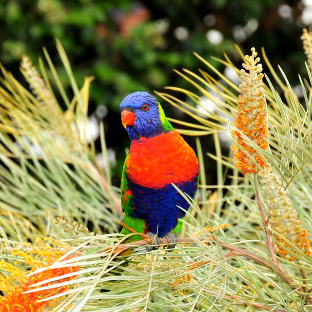 """Rainbow Lorikeet"" stock image"