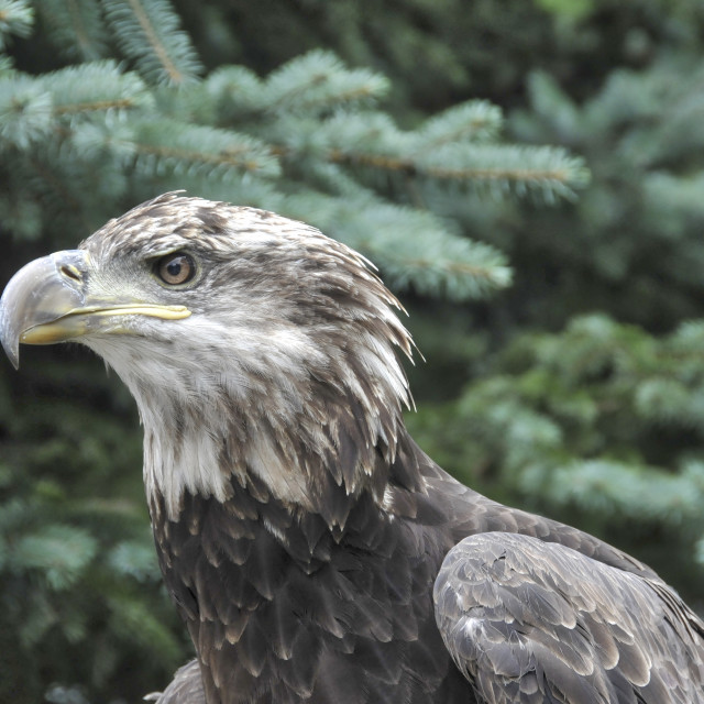 """""""Young Eagle"""" stock image"""
