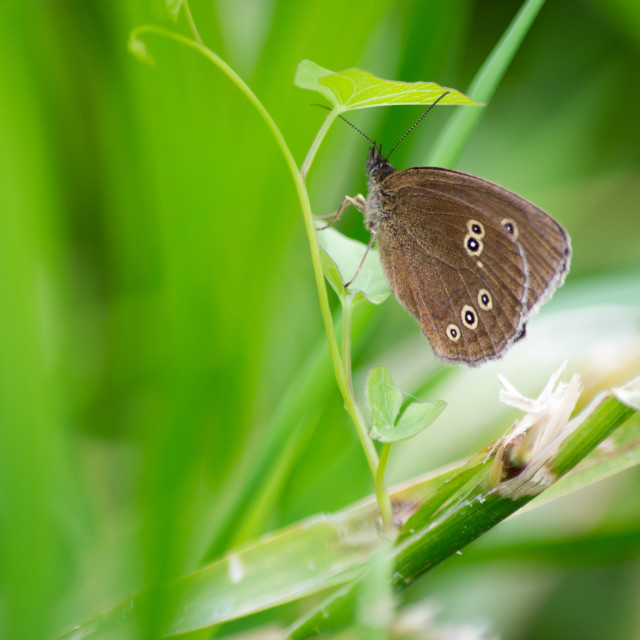 """Ringlet Butterfly On Plant"" stock image"