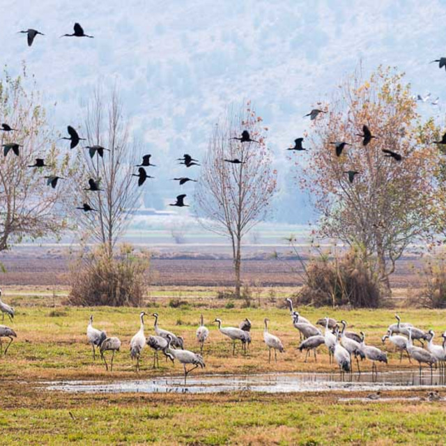 """""""Cranes and Ibises"""" stock image"""