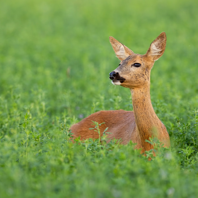 """Roe deer doe standing out on clover field in summer"" stock image"