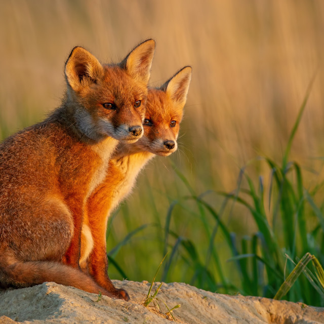 """""""Red fox little cubs near den sitting close together."""" stock image"""