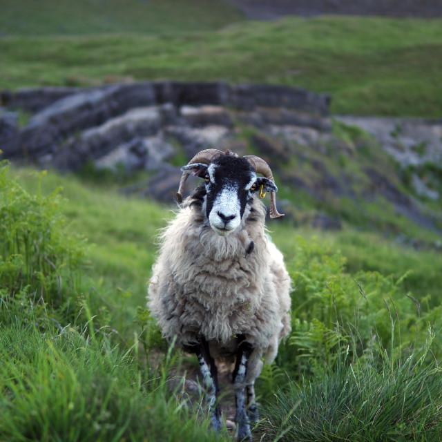 """Sheep Portrait"" stock image"