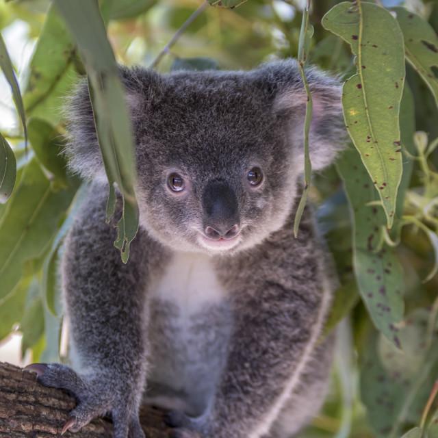 """""""Koala Joey"""" stock image"""