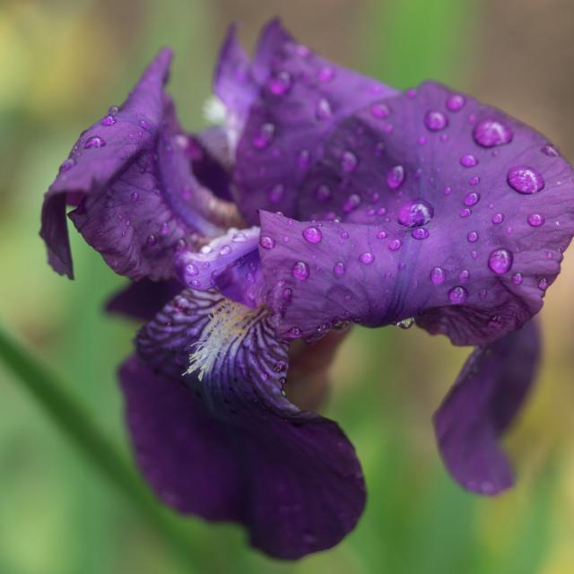 """Purple Rain 3"" stock image"