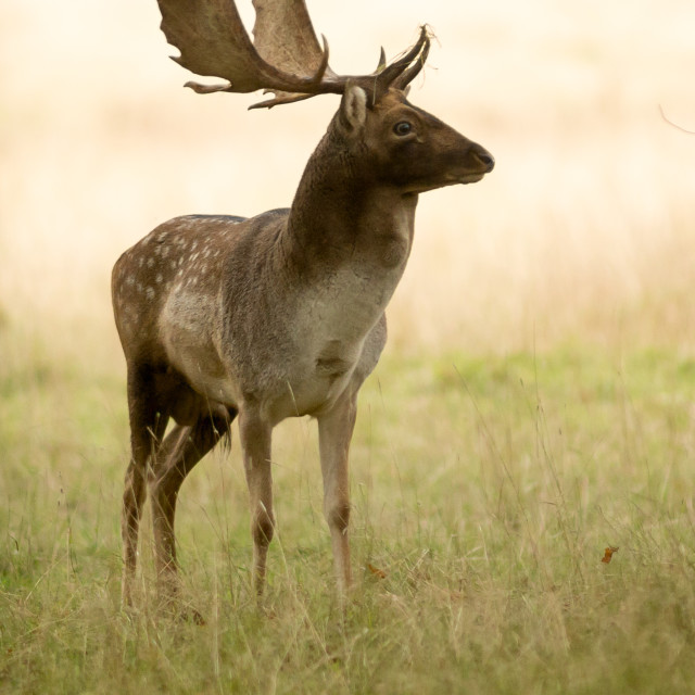 """""""Fallow Stag Deer"""" stock image"""