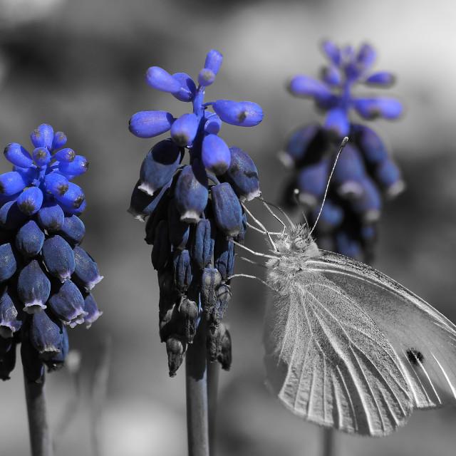 """White butterfly on dark blue flowers."" stock image"
