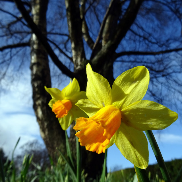 """""""Daffodils in Dalmuir Park, Clydebank"""" stock image"""