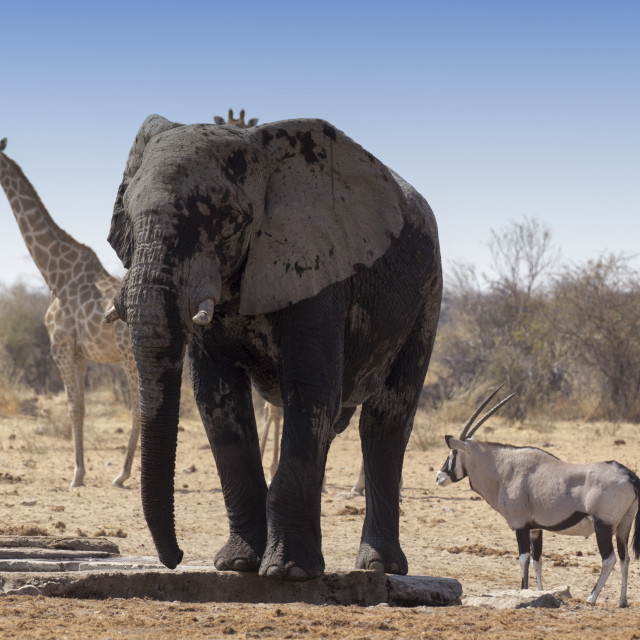 """Huge african elephant, an oryx and a giraffe"" stock image"