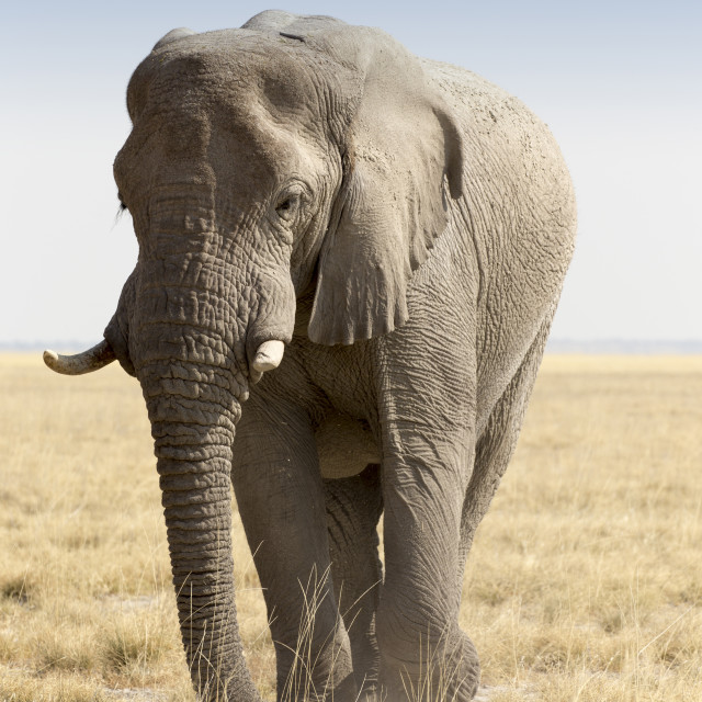 """Huge african elephant in namibia"" stock image"