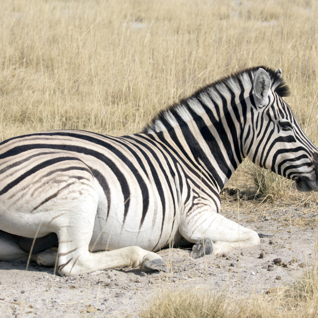 """Zebra resting on the ground"" stock image"