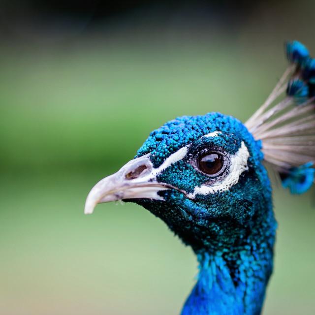 """peacock"" stock image"