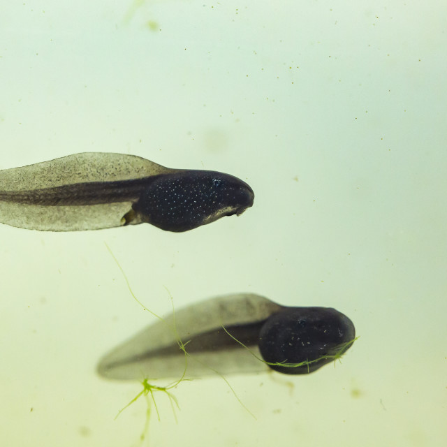 """Natural underwater view on a tadpole or pollywog larval stage swimming in..."" stock image"