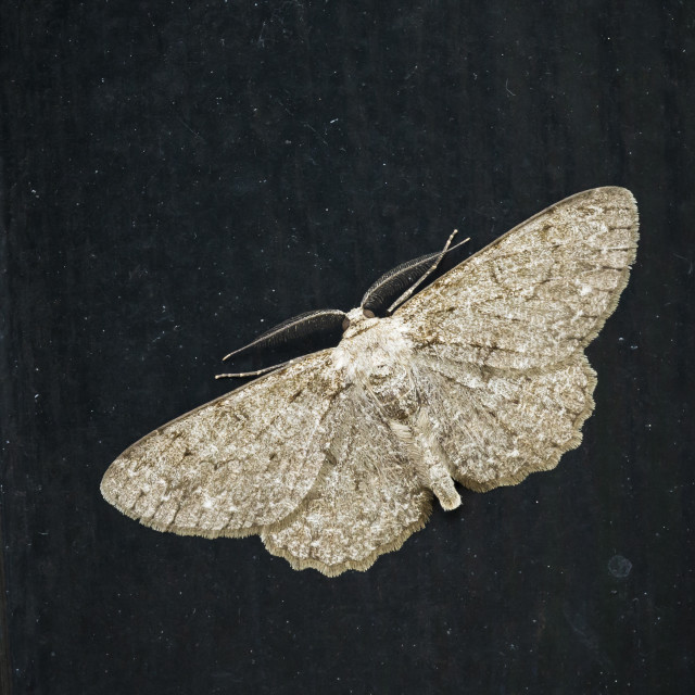 """Closeup of a white brown small engrailed moth, Ectropis crepuscularia"" stock image"