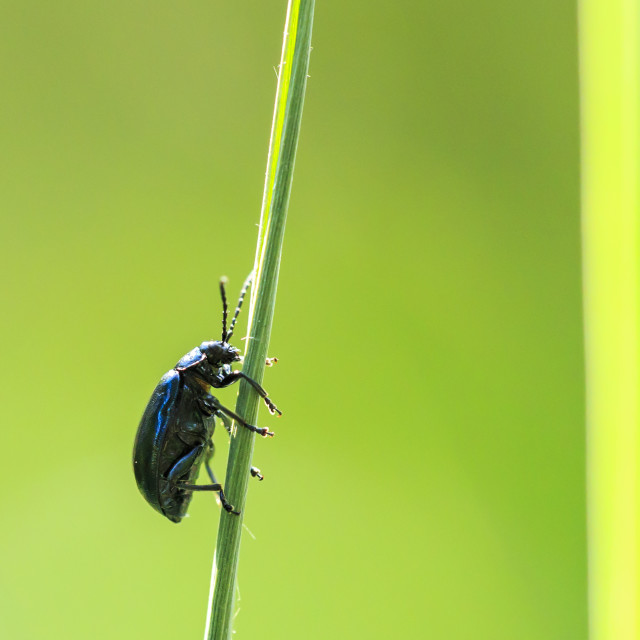 """Closeup of a small alder leaf beetle, agelastica alni, insect climbing up on..."" stock image"