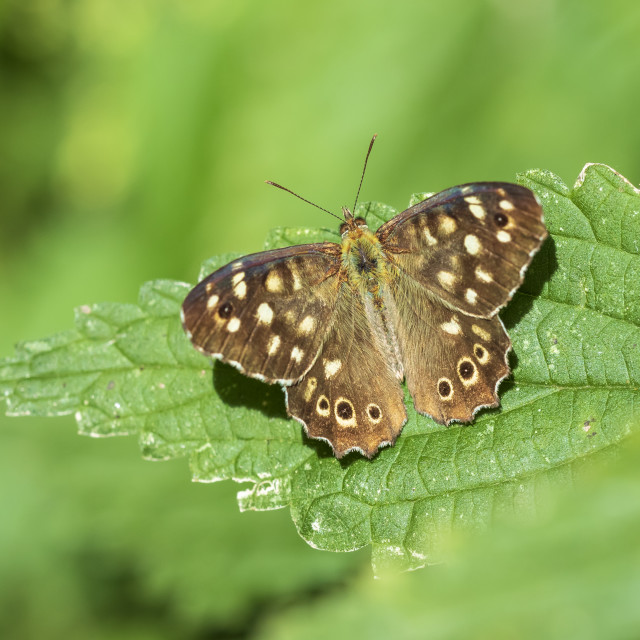 """Speckled wood butterfly Pararge aegeria closeup"" stock image"