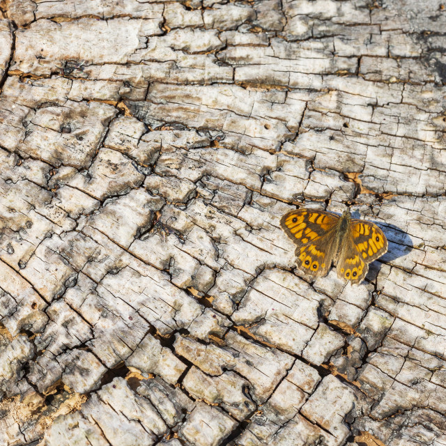 """Wall Brown butterfly Lasiommata megera resting on wood"" stock image"
