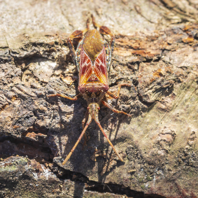 """Western conifer seed bug insect, Leptoglossus occidentalis, crawling"" stock image"