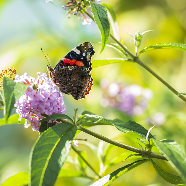 """Red Admiral butterfly, Vanessa atalanta, on blue flowers"" stock image"