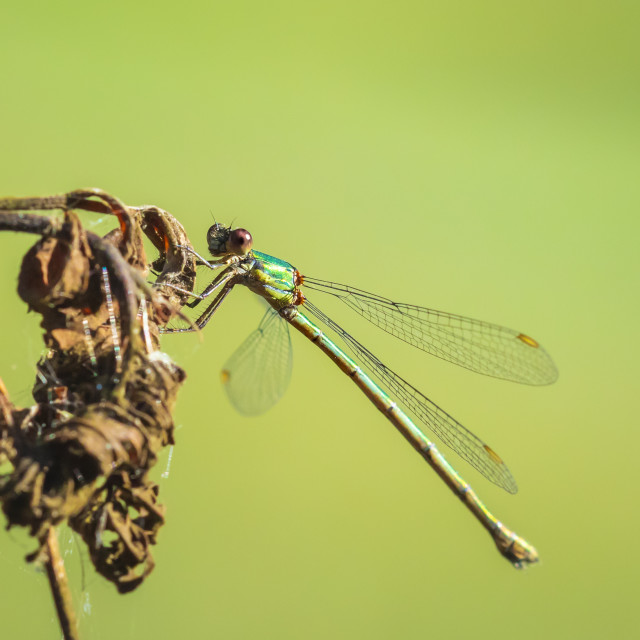 """Detail closeup of a western willow emerald damselfly Chalcolestes viridis"" stock image"