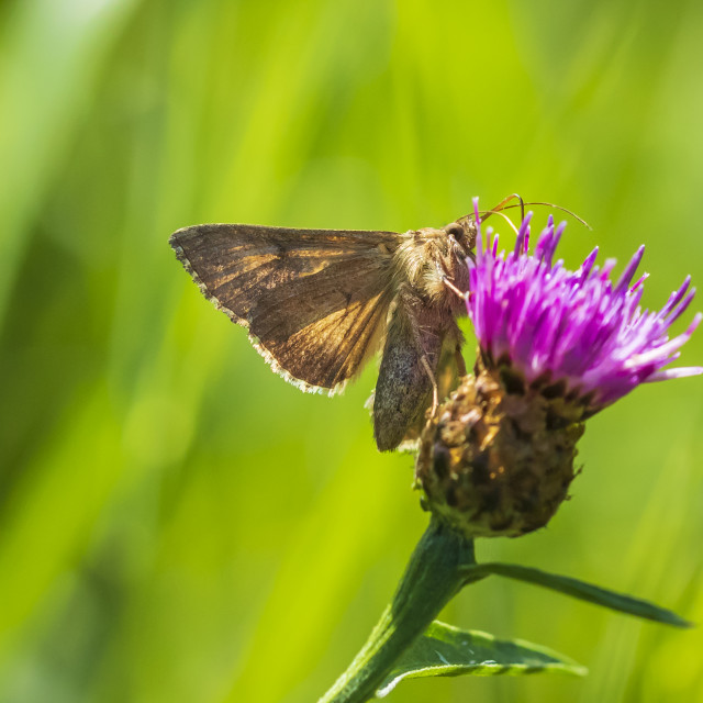 """Day active Silver Y Autographa gamma moth pollinating on pink and purple..."" stock image"