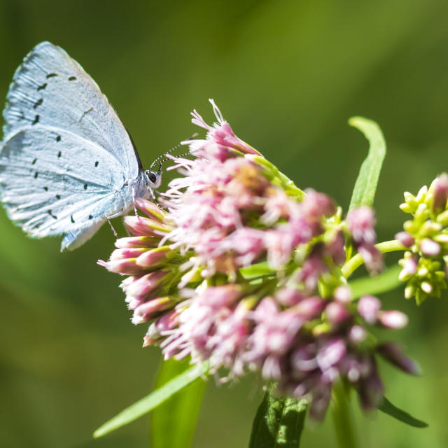 """Closeup of a holly blue Celastrina argiolus butterfly feeding"" stock image"