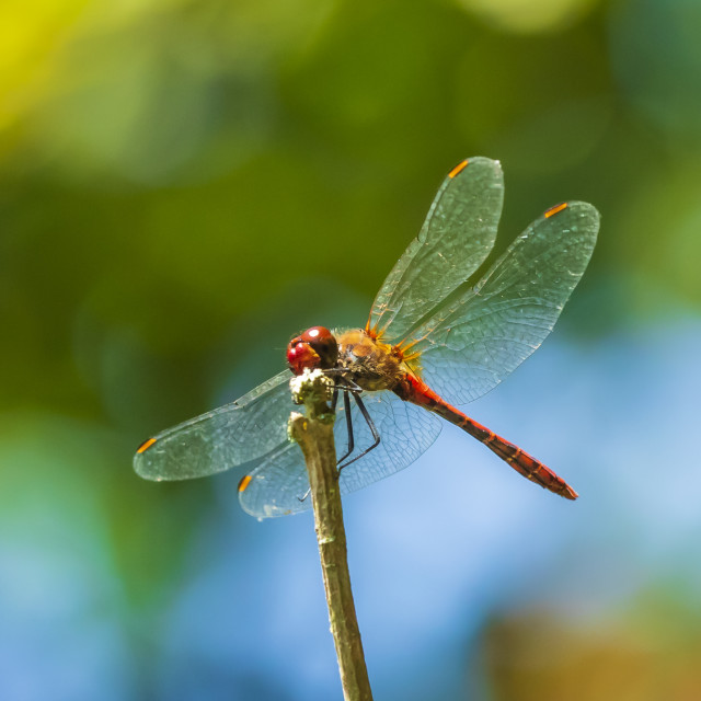 """Closeup of a red male Ruddy darter (Sympetrum sanguineum) resting in sunlight..."" stock image"
