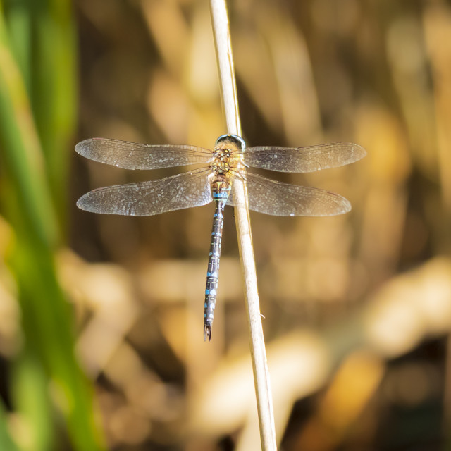 """Closeup of a male migrant hawker Aeshna mixta resting"" stock image"