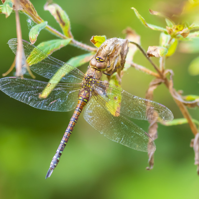 """Closeup of a female migrant hawker Aeshna mixta resting under leaves in a tree"" stock image"