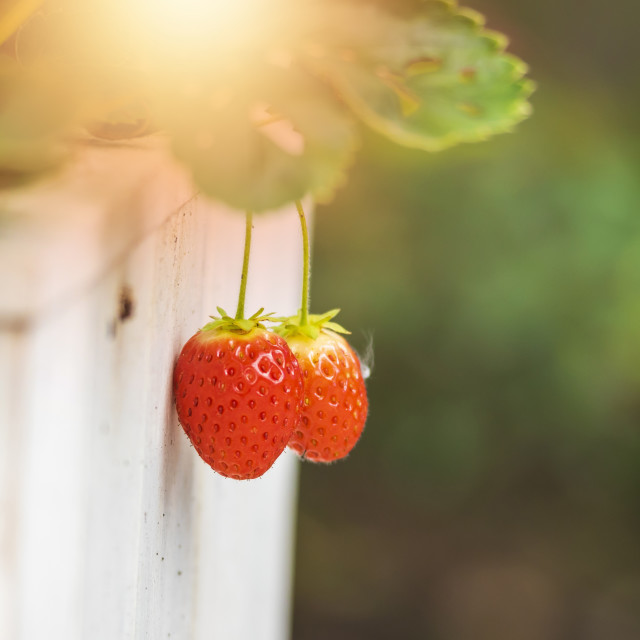 """Red, ripe strawberry fruits in a green garden. Sunlight lensflare"" stock image"