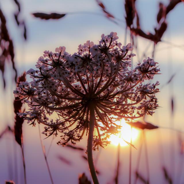 """Flower at Sunset"" stock image"