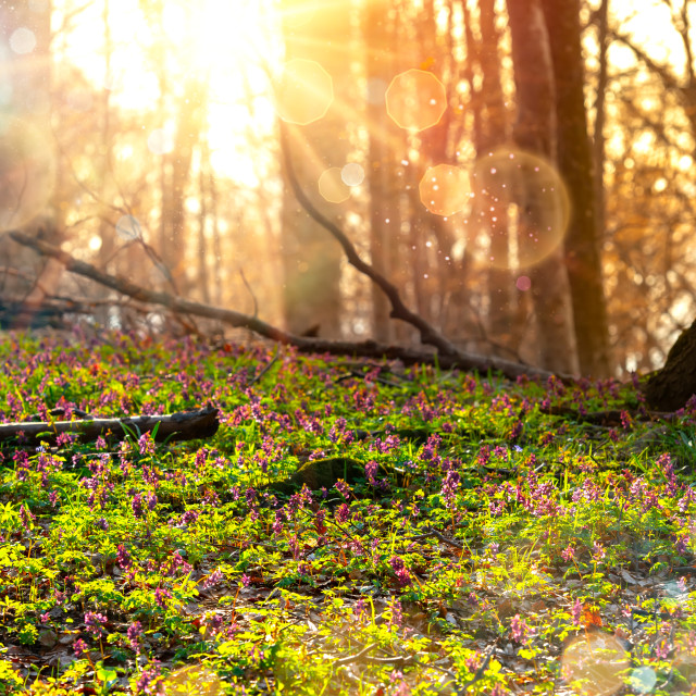 """Scenic magical spring forest floor flowers"" stock image"