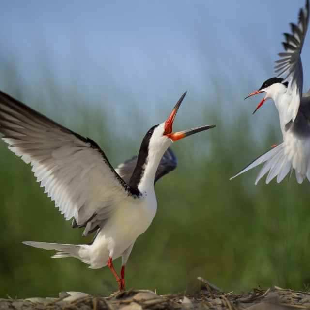 """""""Black Skimmer and Common Tern Fight"""" stock image"""