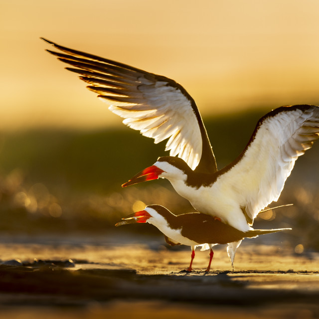 """""""Black Skimmers Mating"""" stock image"""
