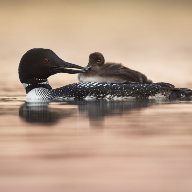 """""""Common Loon and Chick on Pastel Pink Water"""" stock image"""