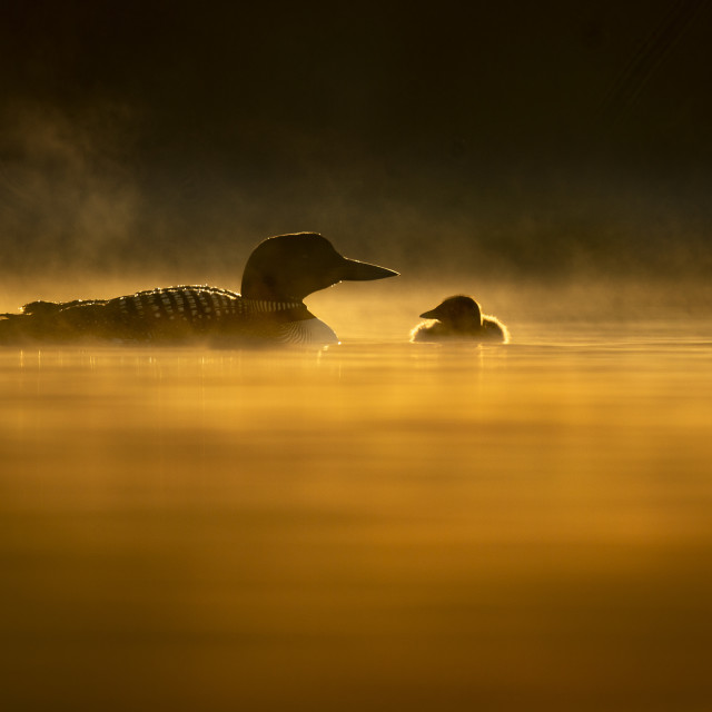 """""""Common Loon and Chick Silhouette"""" stock image"""