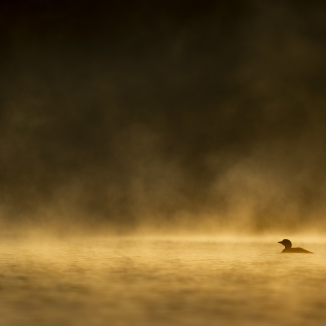"""""""Common Loon Silhouette"""" stock image"""
