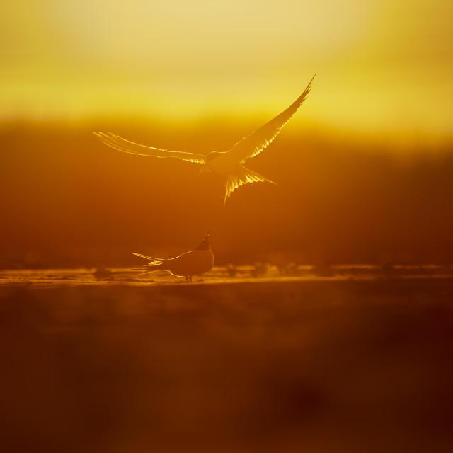 """Common Tern Courtship"" stock image"