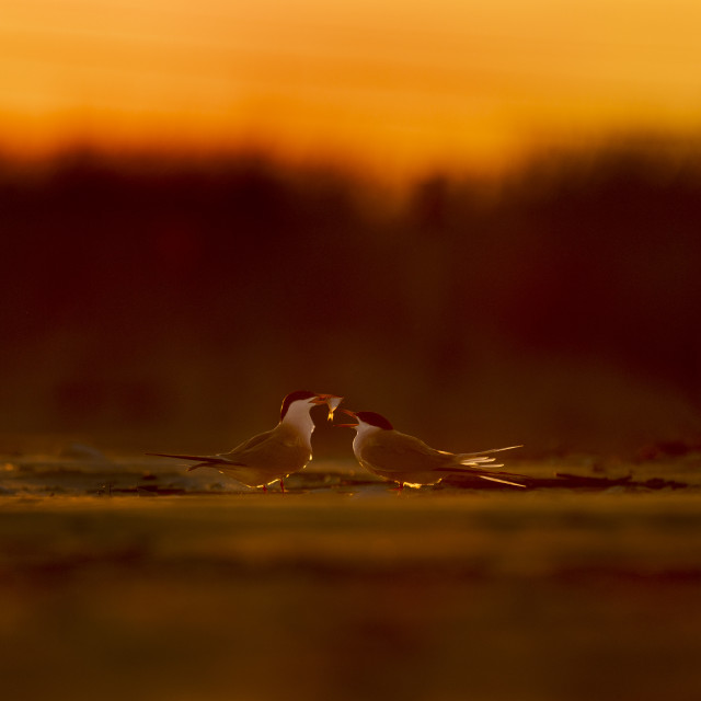 """""""Common Tern Courting"""" stock image"""