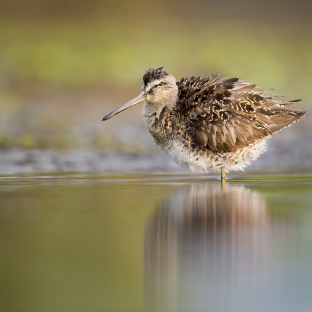 """""""Fluffed Up Dowitcher"""" stock image"""
